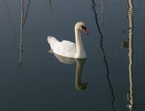 Swan in Lymington